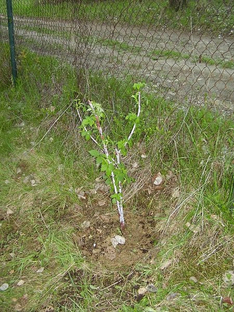 sadenie1