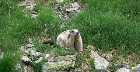 Stážca Tatier, Marmota marmota latirostris (Svišť vrchovský tatranský)