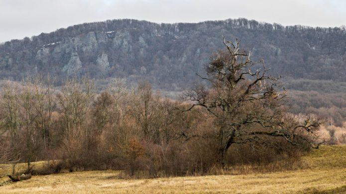 Dub pod Rankovskými skalami